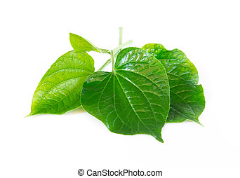 Green herb Piper sarmentosum Roxb or Chaplo leaves isolated ...
