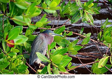 Green Heron Bird at Ding Darling Wildlife Refuge Sanibel ...