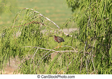 Green heron Butorides virescens perched in a tree over a ...