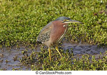 Green Heron in a Wetland Marsh