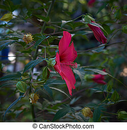 green hibiscus bush with red blooming flowers in the garden