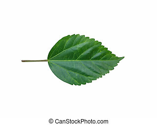 Green Hibiscus leaf isolated on white background