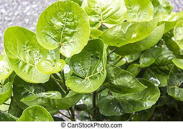 Green Hibiscus leaves