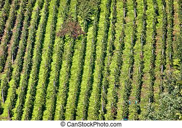 Green hill vineyard aerial view