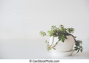 Green home plant in ceramic pot on white