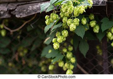 green hop bush grows in the garden