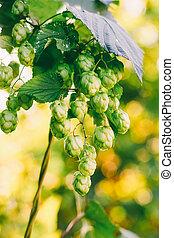 green hop cones closeup, selective focus shallow depth of field