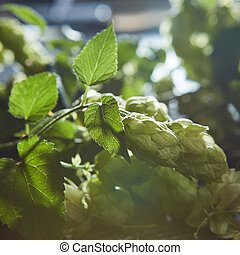 Green Hop Cones on a old wooden background.
