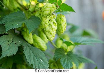 Green hop cones