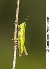 green hopper (Chorthippus parallelus) on blurred background