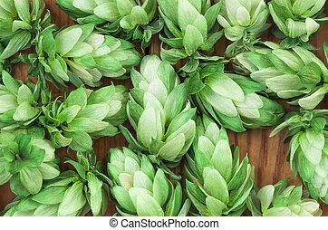 Green hops, agricultural background