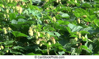 Green hops Humulus lupulus fruit