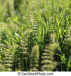 horsetail - Green horsetail close-up in sunny summer field