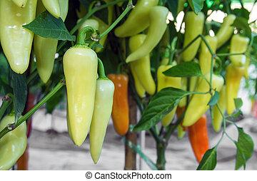 Green hot chili pepper on tree