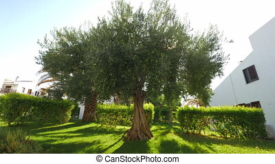 Green house garden with big fruitful olive tree - Green...