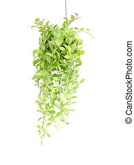 Green house ivy plant Hanging in flower pot isolated on white background