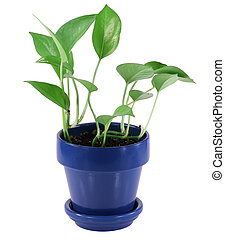 Green House Plant - Green house plant in blue pot.