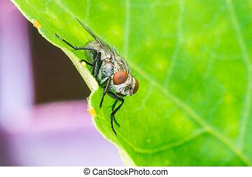 Green Housefly macro closeup