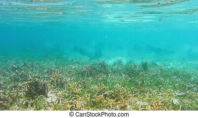 Green humphead parrotfish swarm swimming in shallow water of...
