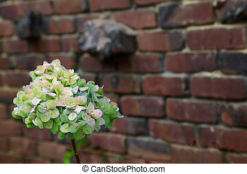 Green Hydrangea brick wall