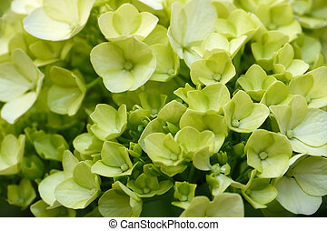 Green Hydrangeas - Young blossom of green hydrangea
