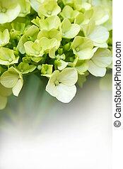 Green Hydrangeas - Young blossom of green hygrangea with...