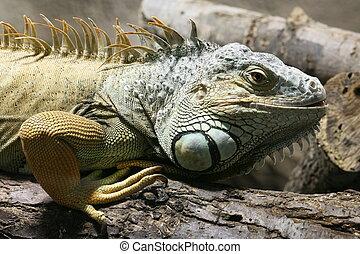 green iguana 1
