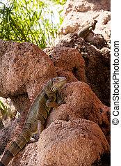 Green Iguana also known as Iguana iguana