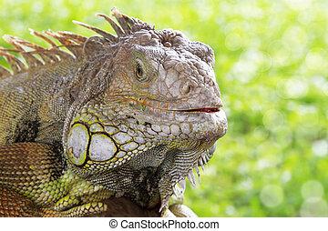 Green Iguana - Close up profile of green iguana head.