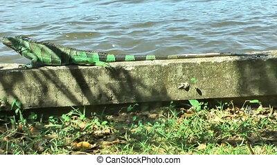 iguana creeping on a wall - green iguana creeping on a wall