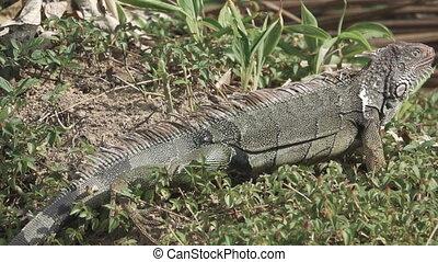Green Iguana (Iguana iguana) escaping in super slow motion