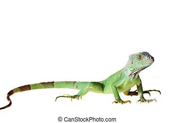 Green iguana (Iguana iguana) isolated on white background