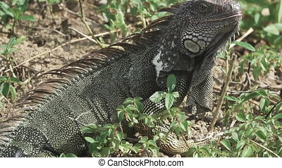 Green Iguana (Iguana iguana) opens mouth and looks at camera...