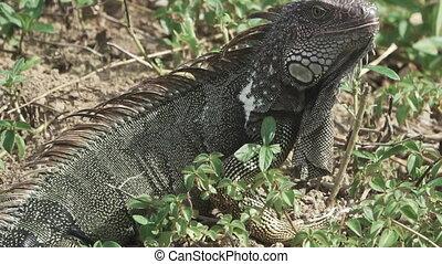 Green Iguana (Iguana iguana) opens mouth and looks at camera...