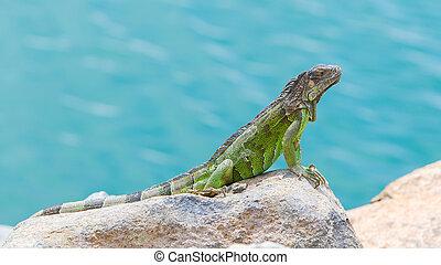 Green Iguana (Iguana iguana) sitting on rocks at the Caribbean coast