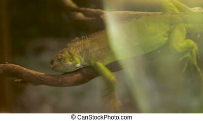 Green iguana lizard takes a nap on tree branch in special...