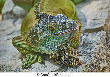 Green Iguana of the Pacific #2