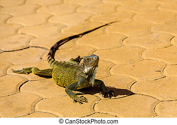 Green Iguana on Brown Tile