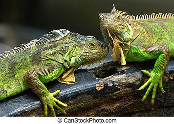 iguana - Green iguana on tree branch