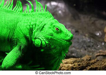 Green Iguana or Common Iguana (Iguana iguana) is a large,...