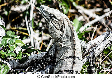 Green Iguana seen in the Mexican Yucatan.