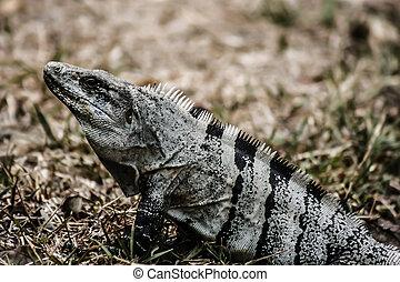 Green Iguana seen in the Mexican Yucatan.