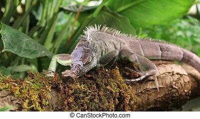 Green Iguana sticks out its tongue - Large Green Iguana...