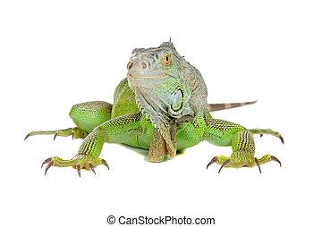 Green iguana(Iguana iguana) isolated on white