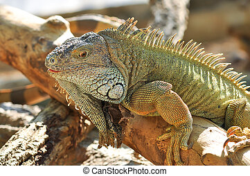 Green Iguanas are diurnal, arboreal, and are often found...