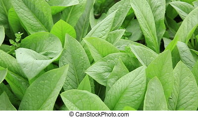 Green indian lettuce in growth at vegetable garden