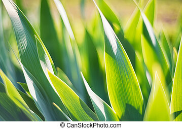 Green iris leaves in garden for abstract spring background