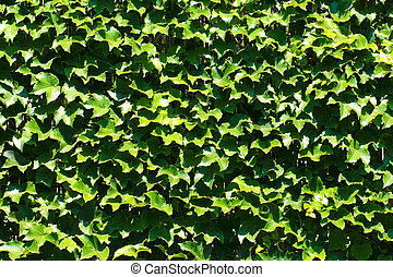 Background From Green Ivy Leaves.