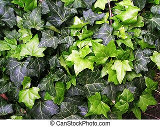 Green ivy background / texture / pattern