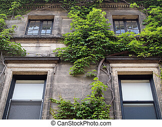 Green ivy growing on a apartment building